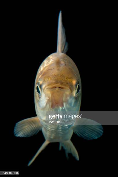 Cyphocharax magdalenae is a species of Curimatidae family which inhabit in Magdalena River