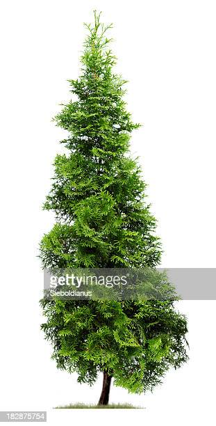 cypress: eastern arborvitae (thuja occidentalis 'fastigiata') isolated on white. - evergreen stock pictures, royalty-free photos & images