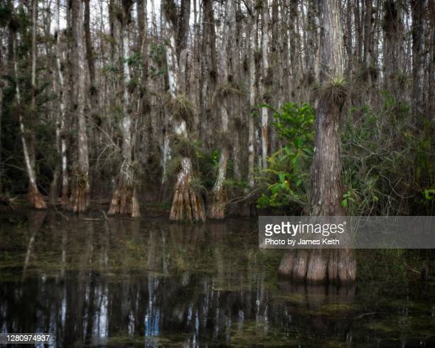 cypress forest in a southern wetland. - bald cypress tree stock pictures, royalty-free photos & images