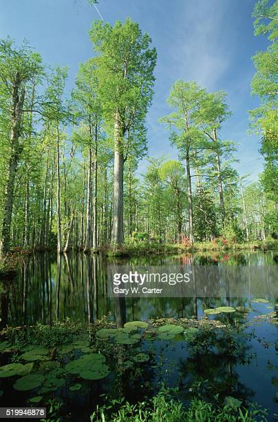 cypress gardens in early spring - lily carter stock pictures, royalty-free photos & images