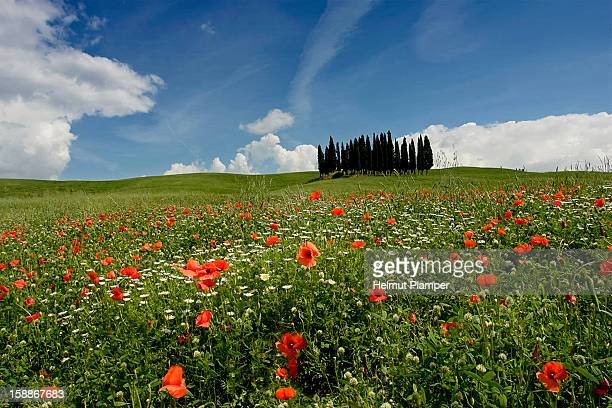 cypress group santa maria near san quirico d'orcia - san quirico d'orcia stock pictures, royalty-free photos & images