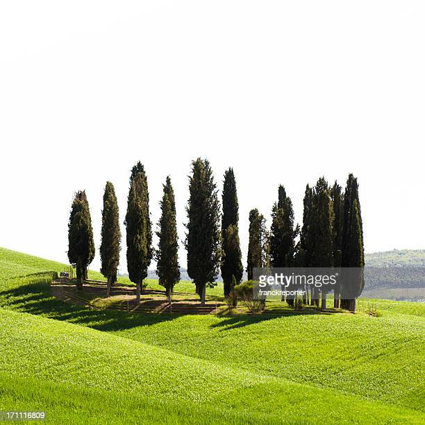 Cypress in tuscany landmark isolated on white