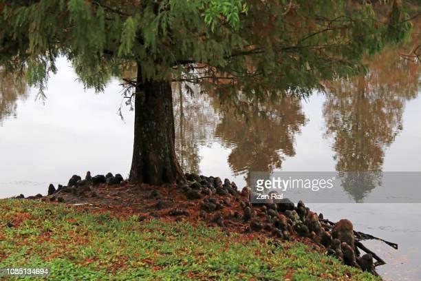 cypress knees growing around a cypress tree - 落羽松 ストックフォトと画像