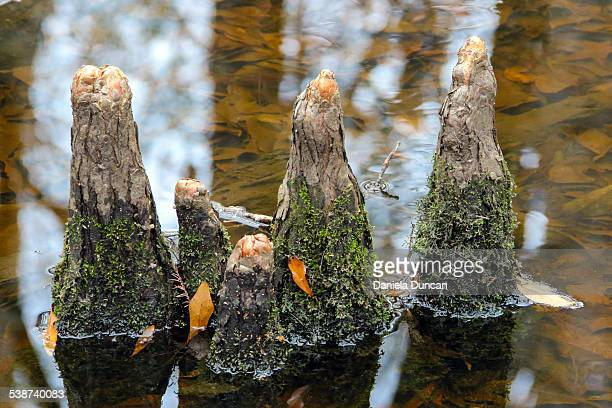 cypress knees - bald cypress tree stock pictures, royalty-free photos & images