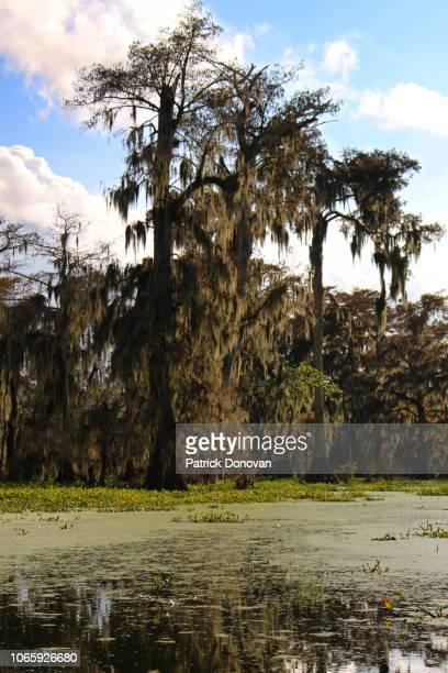 cypress, lake martin, louisiana - musgo español fotografías e imágenes de stock