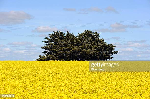 Cypress pine tree stands in a field of genetically modified canola crops in Lake Bolac in the Western District of Victoria Australia on Tuesday Sept...