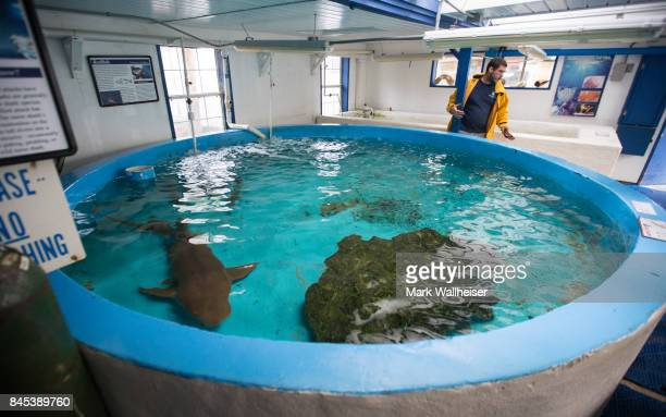 Cypress Rudloe waits to evacuate his last remaining nurse shark at the Gulf Specimen Marine Lab across the street from Dickerson Bay ahead of the...