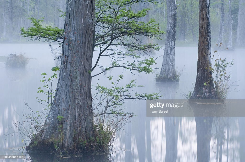 Cypress swamp, dawn : Stock Photo