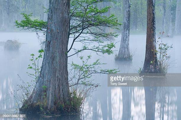cypress swamp, dawn - cypress swamp stock photos and pictures