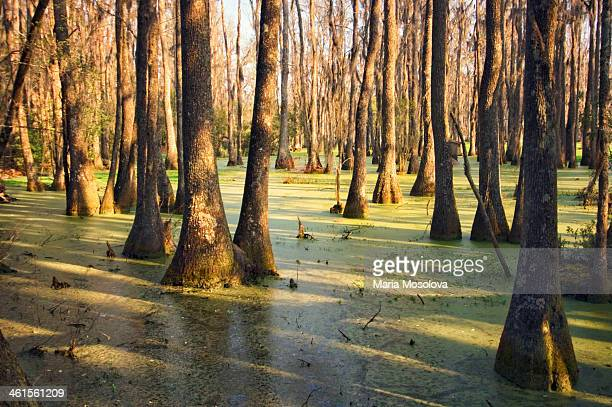 Cypress Swamp In Spring. South Carolina, USA
