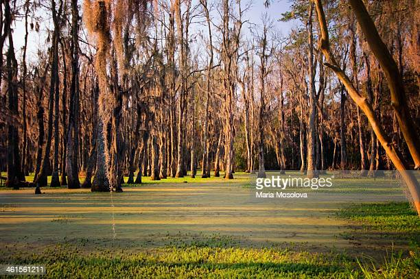 cypress swamp in spring. south carolina, usa - bald cypress tree stock photos and pictures