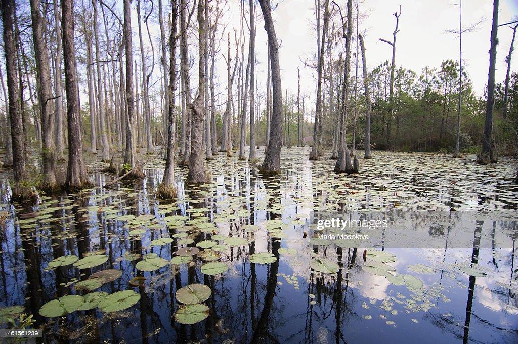 Cypress Swamp In Spring. South Carolina, USA : Stock Photo