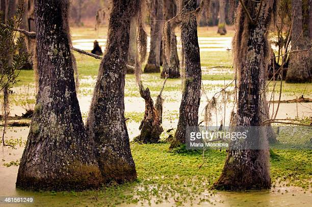 cypress swamp in spring. south carolina, usa - epiphyte stock pictures, royalty-free photos & images