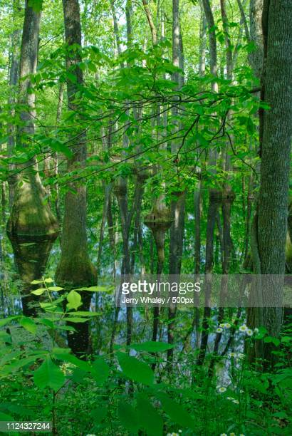 Cypress Swamp, Natchez Trace, Mississippi