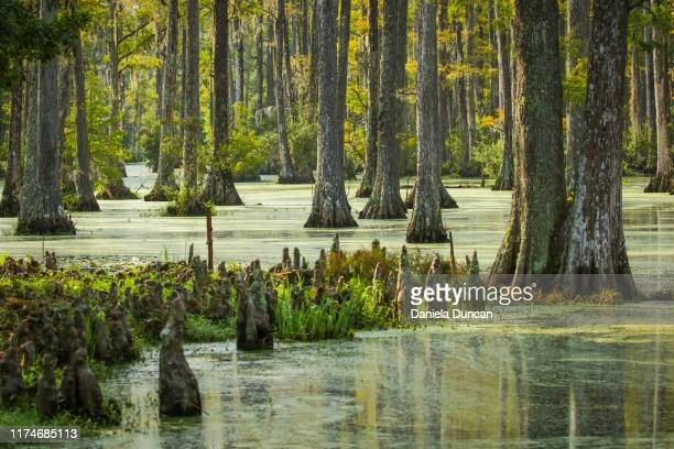 cypress swamp - 低湿地 ストックフォトと画像