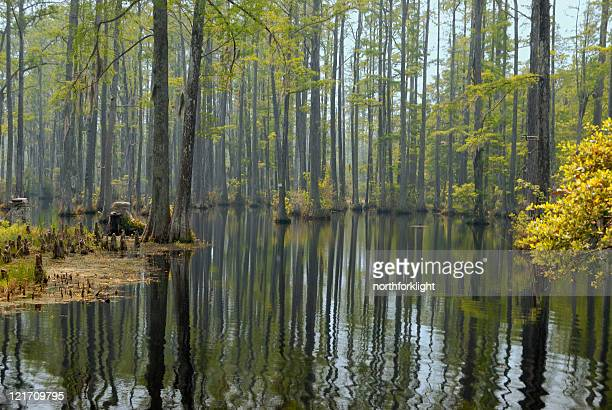 cypress swamp - spanish moss stock pictures, royalty-free photos & images