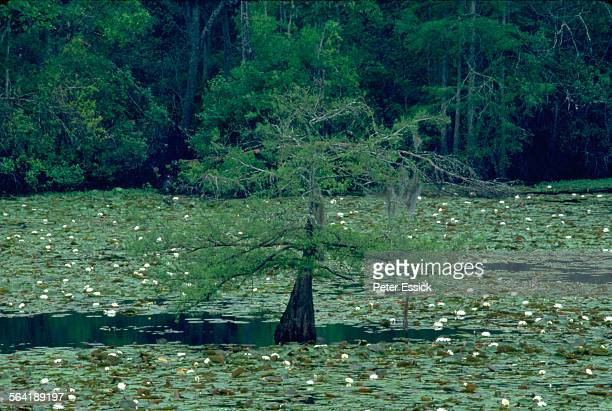 cypress swamp. - cypress swamp stock photos and pictures