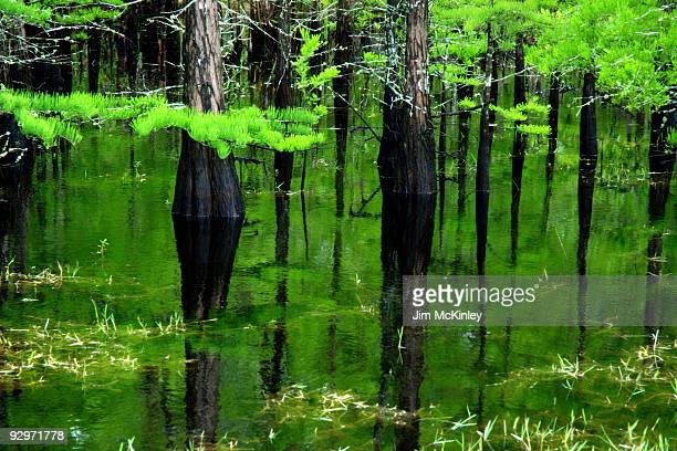 cypress swamp - cypress swamp stock photos and pictures