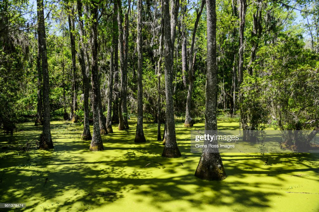 Cypress Swamp : Stock Photo