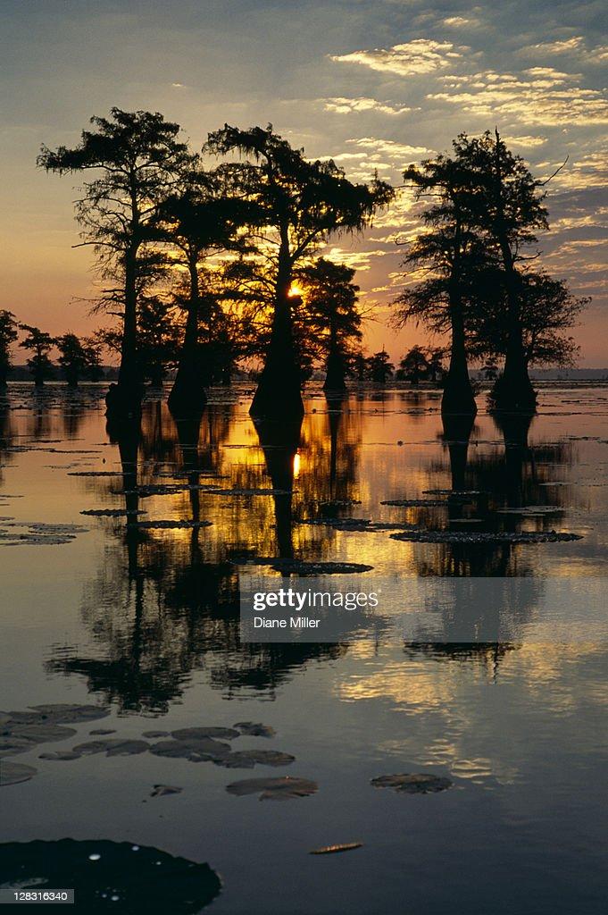 Cypress Swamp reflection. Caddo Lake, Texas, 10-02, plant, tree, cypress, nature, water, landscape, lake, sunrise, sun, [similar 05181, 05180] : Stock Photo