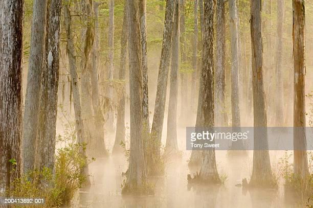 Cypress swamp, sunrise