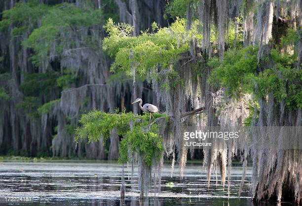 cypress swamp with great blue heron - spanish moss stock pictures, royalty-free photos & images