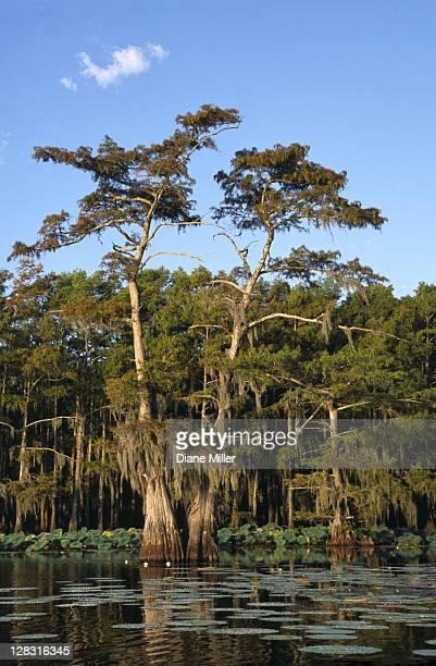 cypress swampy with cloud in cypress swamp. caddo lake, texas, 10-02, plant, tree, flower, water lily, cypress, nature, water, landscape, lake, aquatic plant, sunrise, [similar 05183, 05185, 05186] - caddo lake stock pictures, royalty-free photos & images
