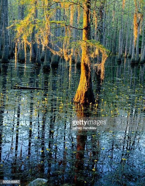Cypress Tree and Bladderwort Flowers in Swamp