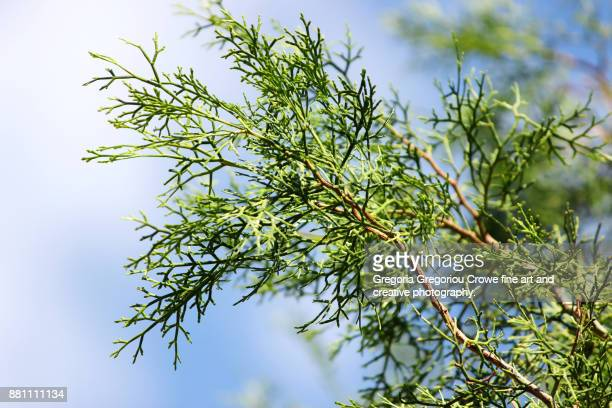 cypress tree close-up - gregoria gregoriou crowe fine art and creative photography. foto e immagini stock