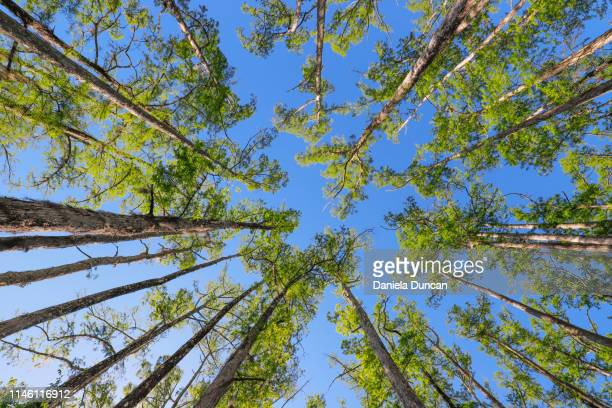 cypress tree forest looking up - cypress tree stock pictures, royalty-free photos & images