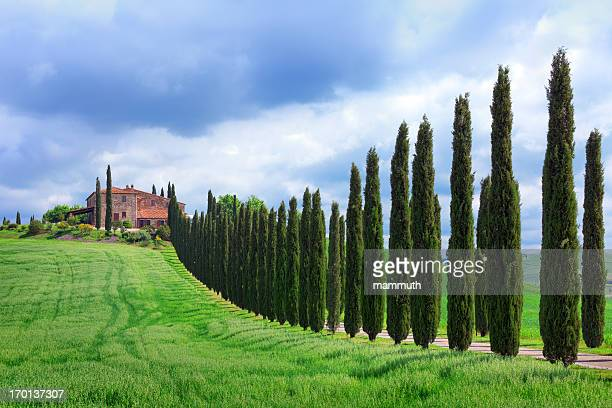 cypress tree lined road in tuscany - italian cypress stock pictures, royalty-free photos & images