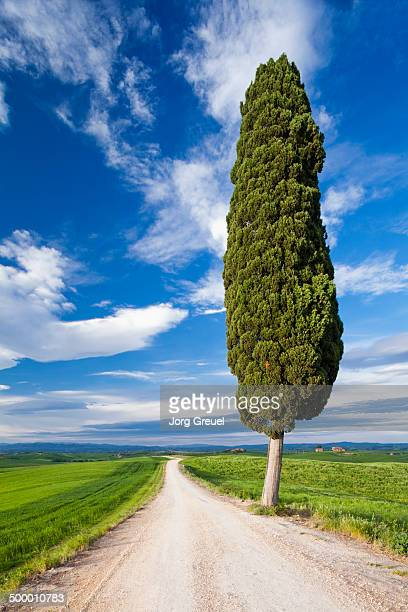 cypress tree - cypress tree stock pictures, royalty-free photos & images