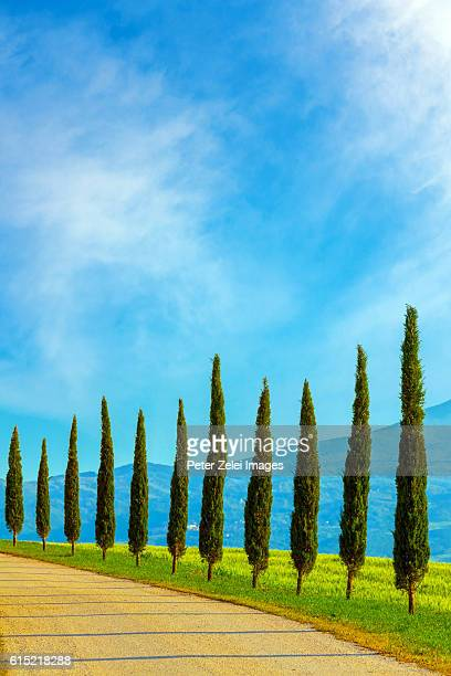 Cypress trees along the road in Tuscany, Italy