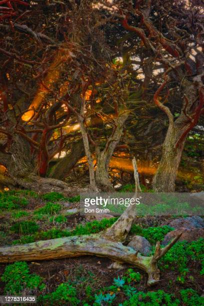 cypress trees and sun rays - don smith stock pictures, royalty-free photos & images
