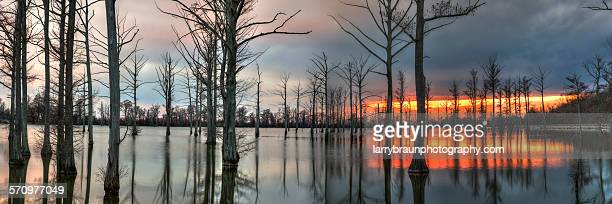 Cypress Trees at Dusk