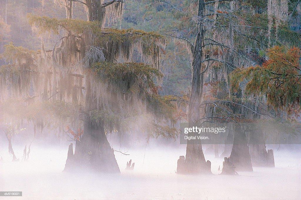 Cypress Trees, Caddo Lake near Marshall, Texas, USA : Stock Photo