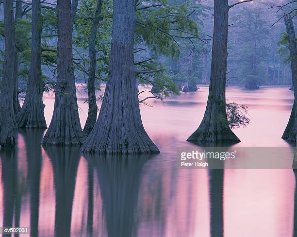 Cypress Trees, Horseshoe Lake Conservation Area, IL