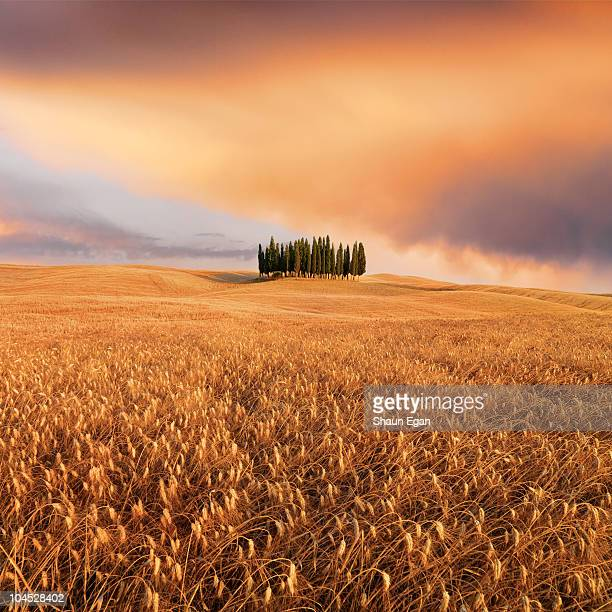 cypress trees in a tuscan landscape - siena itália imagens e fotografias de stock