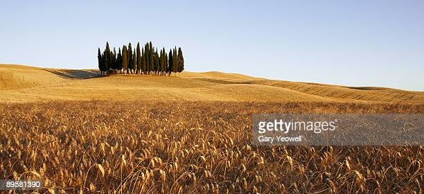 Cypress Trees in a Tuscan landscape