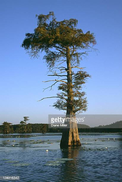 cypress trees in cypress swamp. caddo lake, texas, 10-02, plant, tree, flower, water lily, cypress, nature, water, landscape, lake, sunrise, [similar 05183, 05185, 05186] - caddo lake stock pictures, royalty-free photos & images