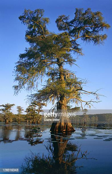 cypress trees in cypress swamp. caddo lake, texas, 10-02, plant, tree, flower, water lily, cypress, nature, water, landscape, lake, sunrise, [similar 05183, 05184, 05186] - caddo lake stock pictures, royalty-free photos & images