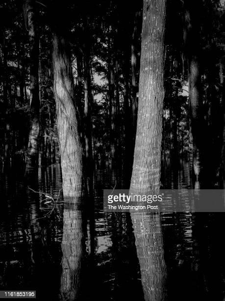 Cypress Trees in Henderson Swamp in the Atchafalaya Basin in Henderson La