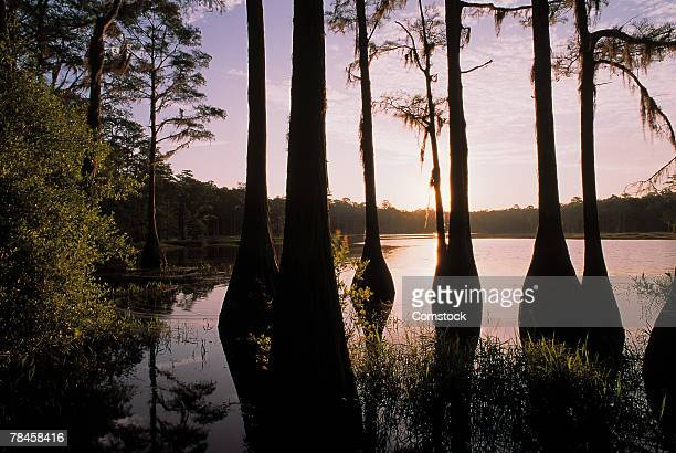 cypress trees in lake bradford region , tallahassee , florida - tallahassee stock pictures, royalty-free photos & images
