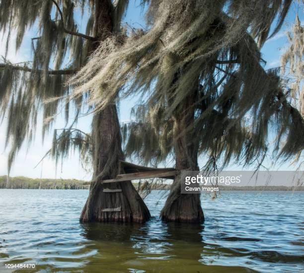 cypress trees in lake martin at forest - cypress swamp stock photos and pictures