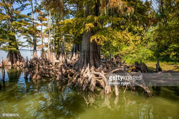 cypress trees in swamp, lula, coahoma county, mississippi, usa - cypress swamp stock photos and pictures