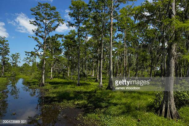 cypress trees in swamp - cypress swamp stock photos and pictures