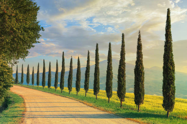 cypress trees in tuscany, italy - tree lined boulevard stock pictures, royalty-free photos & images