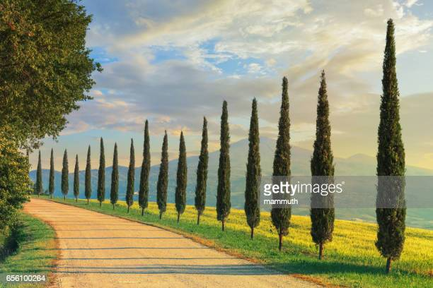 cypress trees in tuscany, italy - siena italy stock photos and pictures
