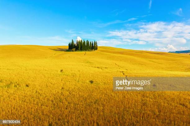 cypress trees in tuscany, italy - italian cypress stock photos and pictures