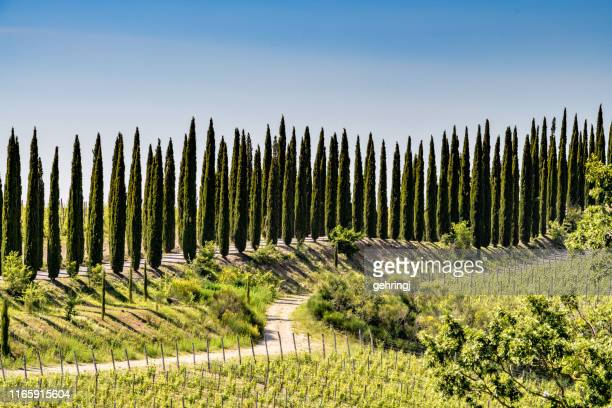 cypress trees in tuscany. location: chianti region, tuscany, italy, europe - cypress tree stock pictures, royalty-free photos & images